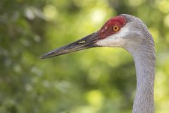 Florida Sandhill Crane. A Sandhill Crane I photographed in Central Florida Royalty Free Stock Photography