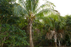 Florida Sanibel Captiva island coconut palm tree Royalty Free Stock Photos