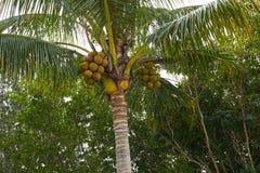 Florida Sanibel Captiva island coconut palm tree Royalty Free Stock Images