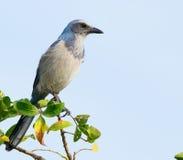 Florida Scheuern-Jay (Aphelocoma-coerulescens) in wildem. Stockfotografie
