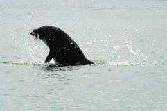 Florida schließt oben vom wilden Delphin mit Fischen im Mund stockbild