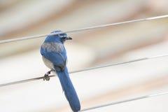 Florida schrobt Vlaamse gaai op een kabel stock afbeelding