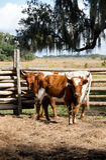 Florida scrub cows Royalty Free Stock Photo