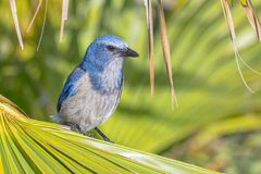Free Florida Scrub Jay Royalty Free Stock Photo - 117979905