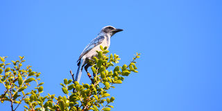 Florida Scrub Jay (Aphelocoma coerulescens) Stock Photography