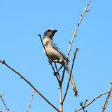 Florida Scrub Jay (Aphelocoma coerulescens) Royalty Free Stock Photography