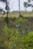 Florida scrub jay (Aphelocoma coerulescens) Stock Photography