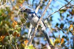 Florida Scrub Jay (Aphelocoma coerulescens) Stock Images