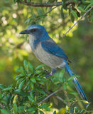 Florida Scrub-jay Royalty Free Stock Photography