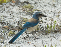 Florida Scrub Jay Stock Photo