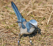 Florida Scrub Jay bird. On dry grass Stock Photos
