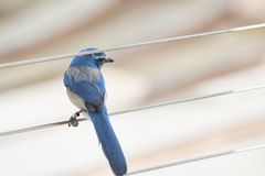 Florida Scrub Jay on a cable. Florida scrub jay forages for food in the rapidly disappearing scrub environment of Central Florida. These birds are found only in stock image