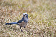 Florida Scrub Jay on a cable. Florida scrub jay forages for food in the rapidly disappearing scrub environment of Central Florida. These birds are found only in royalty free stock photography