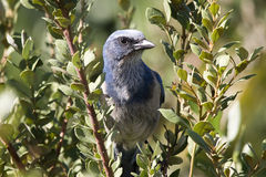 Florida Scrub Jay. Endangered jay bird found only in Florida. Perched in a bush stock photography