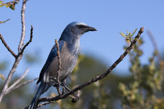 Florida Scrub Jay. Endangered jay bird found only in Florida. Perched in a tree royalty free stock photo