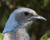 Florida Scrub Jay Portrait. Portrait of a Florida scrub-jay, taken in Brevard County, FL stock photos