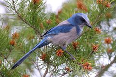 Florida Scrub Jay stock images