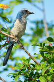 Florida Scrub-Jay Staring stock photo