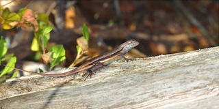 Florida Scrub Lizard (Sceloporus woodi) Royalty Free Stock Photography
