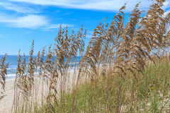 Florida Sea Oats on the Atlantic. A colony of Florida sea oats along the Atlantic Ocean coastline Royalty Free Stock Photography