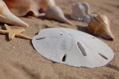 Florida sea shells. Sea shells collected from the sands of captive island Florida including a beautiful sand dollar the money if the sea layer on beautiful white royalty free stock photos