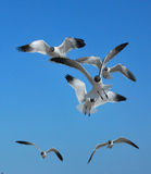 Florida Seagulls. Are everywhere Stock Photo