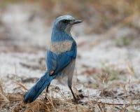 Florida sfrega il foraggiamento di Jay sulla terra - Port Charlotte, Flori Fotografia Stock Libera da Diritti