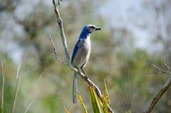 Florida sfrega Jay (coerulescens) di Aphelocoma, Florida Fotografie Stock
