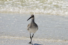 Florida Shore bird Royalty Free Stock Image