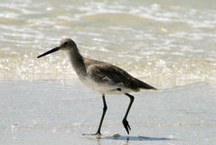 Florida Shore bird Royalty Free Stock Photography