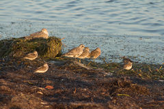 Florida Shore Birds. Huddling at sunset Royalty Free Stock Photo