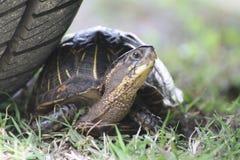 Florida sköldpadda Var säker Fotografering för Bildbyråer