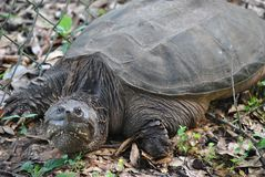 Florida Snapping Turtle Royalty Free Stock Image