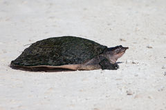 Florida soft shell turtle Stock Photos