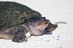 Florida soft shell turtle Royalty Free Stock Photography