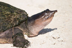 Florida soft shell turtle Stock Photo