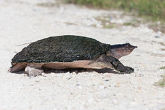 Florida soft shell turtle Stock Images