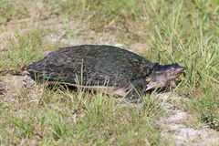 Florida soft shell turtle Stock Photography