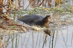 Florida Soft-shelled Turtle Basking in a Marsh Royalty Free Stock Photos