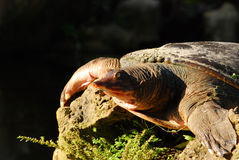 Florida softshell Schildkröte Stockfotografie