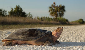 Florida Softshell Turlte. Large Florida softshell turtle crossing dirt road in Big Cypress National Preserve, Florida Stock Photo