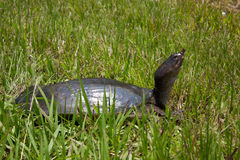 Florida softshell turtle Stock Photo