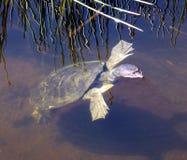 Florida Softshell Turtle (Apalone ferox) Royalty Free Stock Image