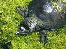 Florida Softshell Turtle (Apalone ferox) Royalty Free Stock Photography