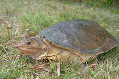 Florida softshell turtle is climbing on the grass Stock Images
