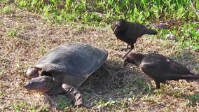Softshell turtle and stealing crows stock footage