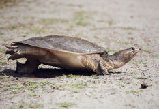Florida Softshell Turtle Royalty Free Stock Image