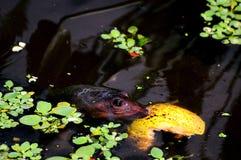 Florida softshell turtle Royalty Free Stock Images