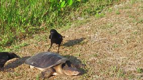 Florida softshell turtle. Female of Florida softshell turtle defending its eggs from the preying attack of the crows in the Everglades National Park, Florida stock footage