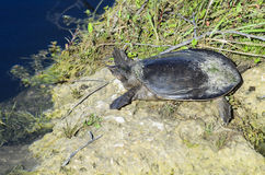 Florida softshell turtle at water`s edge Royalty Free Stock Photo